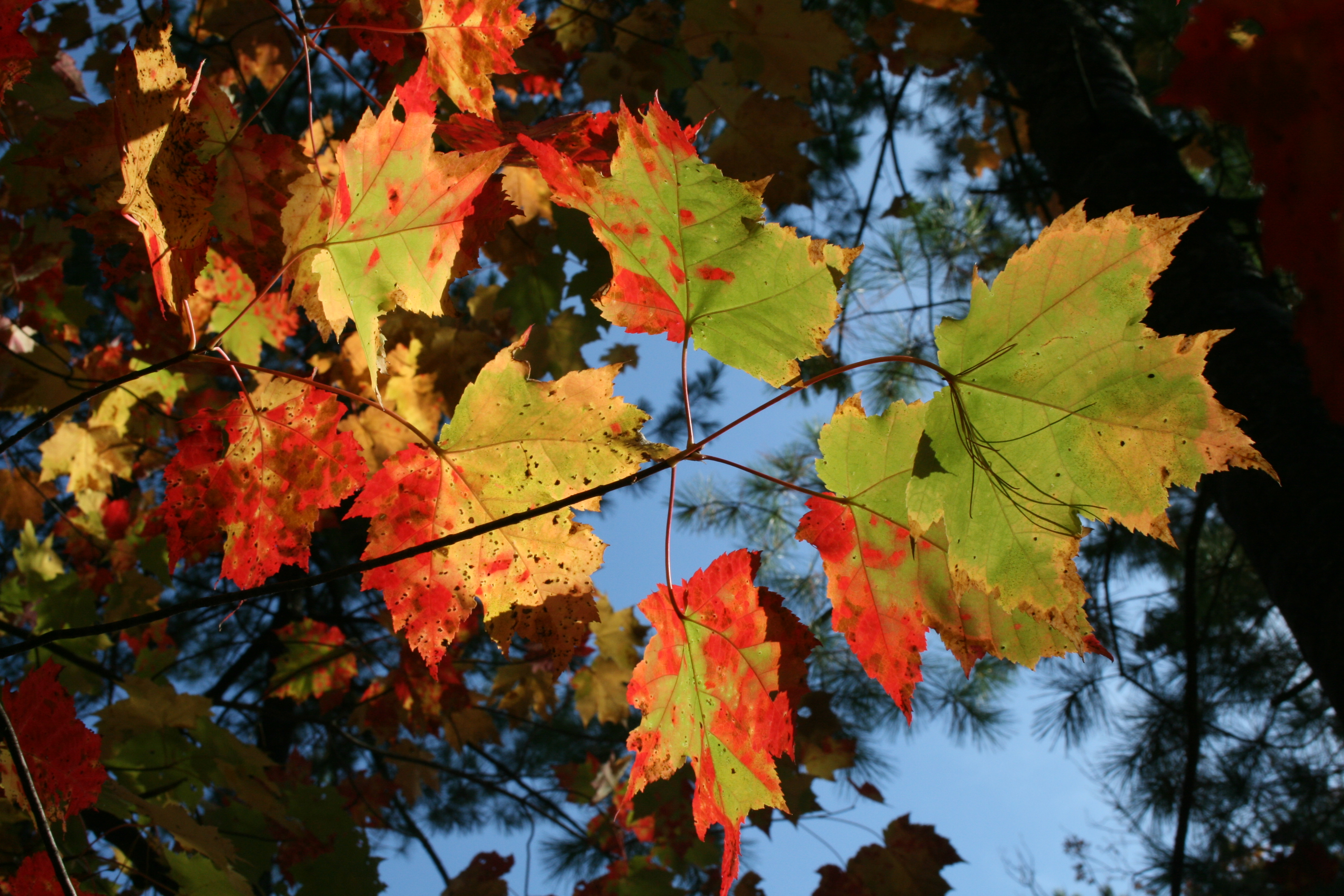Glowing Leaves at Interlochen